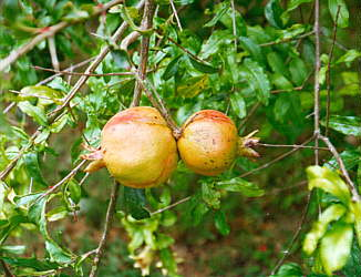Jamaican Sweetsop  Syzygium jambos  Jamaican